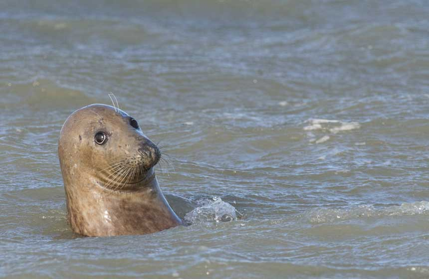 On the look-out for grey seals in the Somme Bay – a must during your stay at the Hotel Le Cap Hornu in Northern France