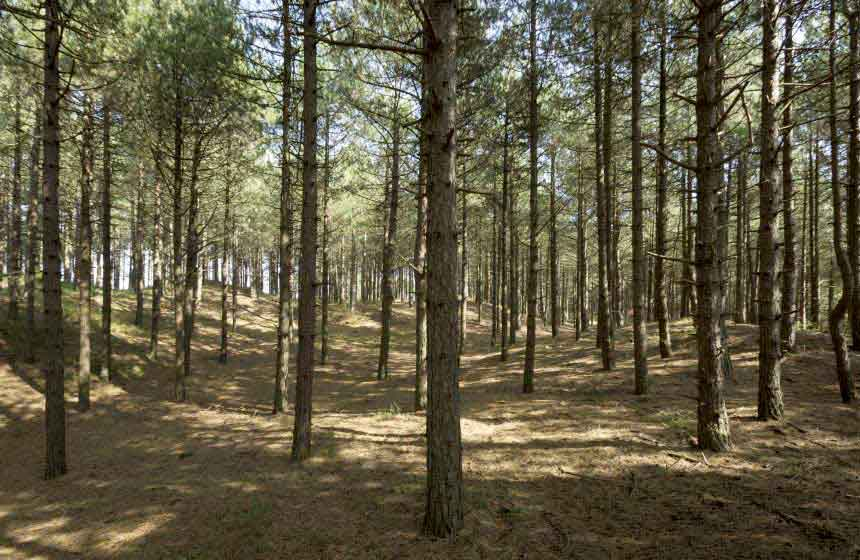 The pine forest near your villa, which you will cross as you head for the sea