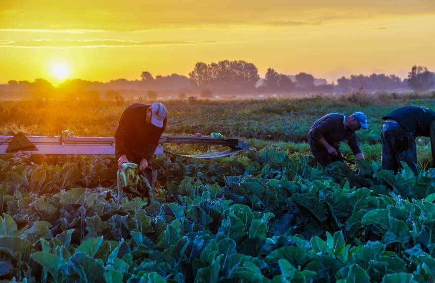 Harvesting cauliflower in the Marais-Audomarois marshes around Saint-Omer in Northern France